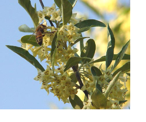 Honeybee on Russian Olive